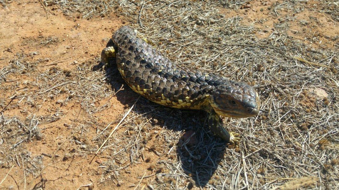 Shingleback lizard