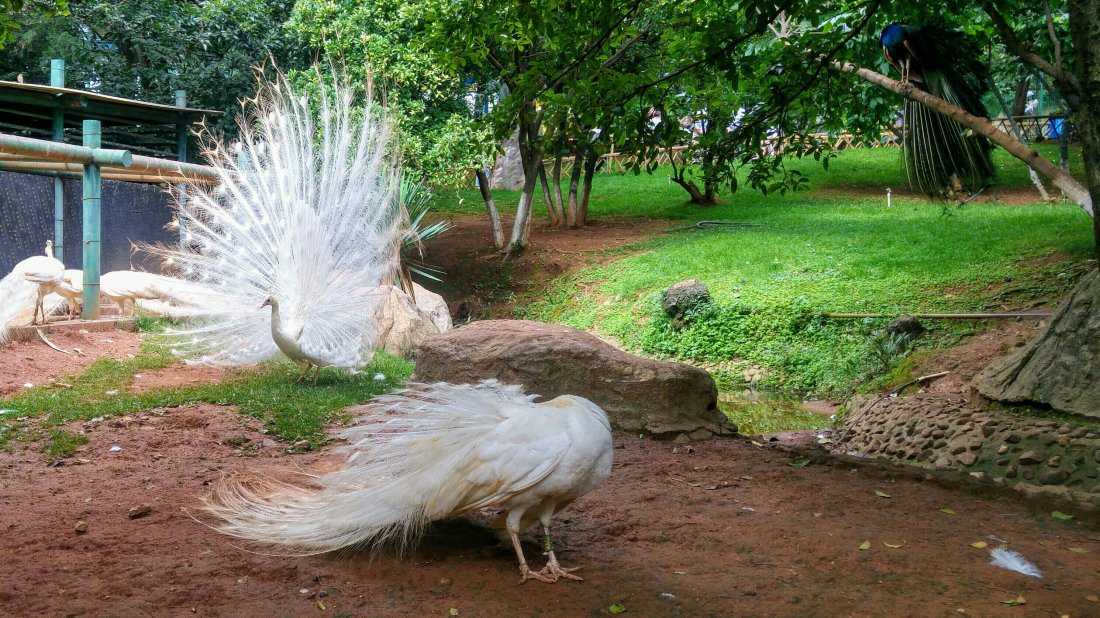 Peafowl, white peacock