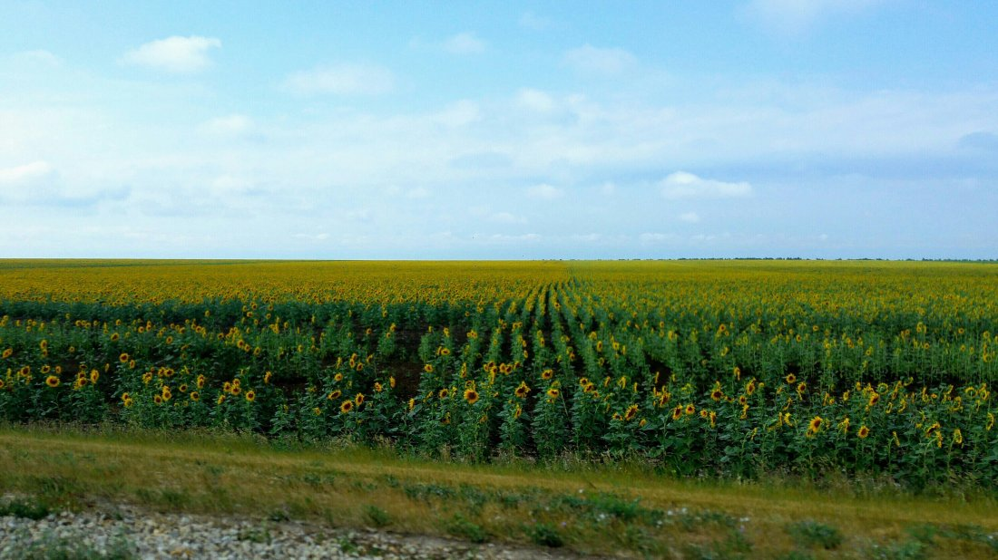 Sunflower fields in Russia