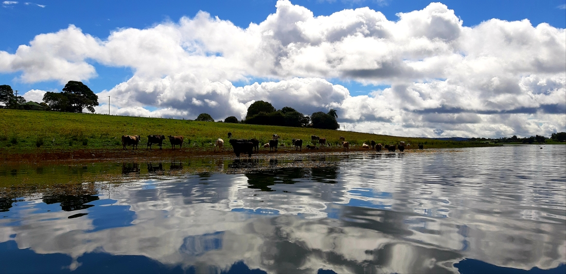 Cattle resting by Lake Tinaroo